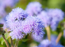 Ageratum houstonianum / flossflower macro Stock Photography