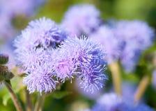 Ageratum houstonianum, flossflower makro-/ Fotografia Stock