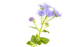 Ageratum houstonianum flower, Macro shot Stock Image