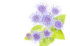 Ageratum houstonianum flower, Macro shot Royalty Free Stock Photo