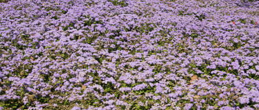 Ageratum houstonianum Royalty Free Stock Images