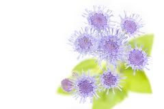 Ageratum houstonianum kwiat, Makro- strzał Zdjęcie Royalty Free