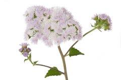 Ageratum houstonianum kwiat na bielu Obrazy Stock