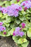 Ageratum houstonianum mały zmielony kwiat z purpurowymi fiołkowymi kwiatami Obraz Royalty Free