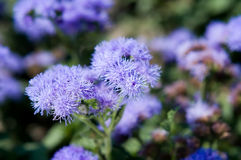 Ageratum Houstonianum Royalty Free Stock Photo