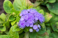 Ageratum houstonianum Mill royalty free stock images