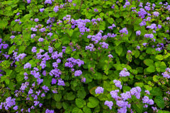 Ageratum houstonianum Stock Photography