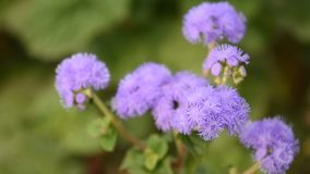 Ageratum houstonianum stock video