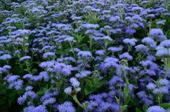 Ageratum kwiat Zdjęcia Stock