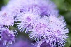 Ageratum kwiat Obraz Stock