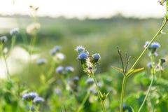 Ageratum kwiat Zdjęcie Stock