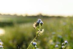 Ageratum kwiat Obrazy Stock
