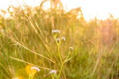 Ageratum kwiat Zdjęcie Royalty Free
