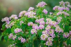 Ageratum kwiatu garnki Zdjęcie Stock