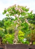 Ageratum kwiatu garnki Zdjęcia Royalty Free