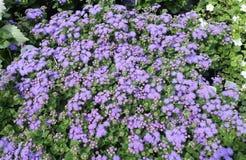 Ageratum kwiaty Obrazy Stock