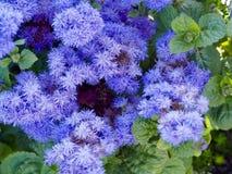 Ageratum kwiaty Obrazy Royalty Free