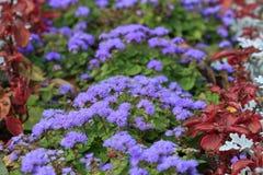 Ageratum kwitnie z rzędu na flowerbed Obrazy Stock