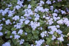 Ageratum lilac bloemen stock afbeeldingen