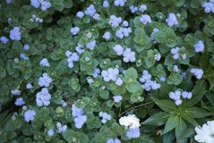 Ageratum lilac flowers stock photography