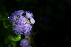 Ageratum lub whiteweed na czarnym tle Zdjęcie Royalty Free
