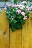 Ageratum menchii kwiaty Zdjęcie Stock