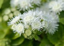 Ageratum mooie bloem op de aard stock afbeeldingen