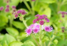 Ageratum mooie bloem op de aard stock afbeelding