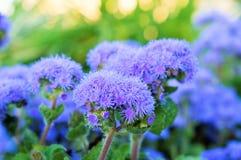 Ageratum mooie bloemen in het bloembed stock foto's