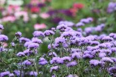 Ageratum na kwiatu łóżku z błękitnymi kwiatami Zdjęcie Royalty Free
