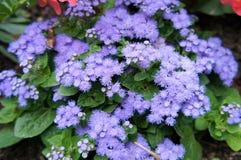 Ageratum Neptune Blue Stock Image