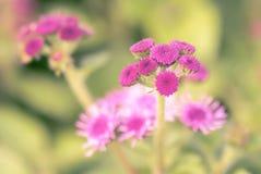 Ageratum piękny kwiat w ogródzie Obraz Stock