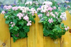 Ageratum pink flowers Stock Photo