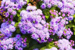 Ageratum purple Stock Image