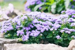 Ageratum in stones stock images