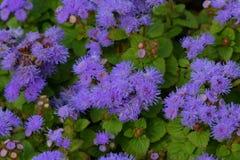 Ageratumbloemen op het bloembed stock foto