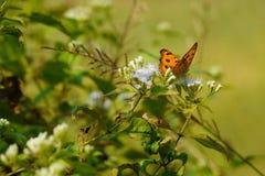 Ageratumconyzoidesblommor och fjärilar i morgonen på backen royaltyfria foton