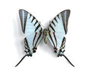 Agesilaus de Eurytides (Papagaio-Swallowtail Curto-alinhado) Foto de Stock