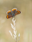Agestis Aricia - καφετιά πεταλούδα Argus, μακροεντολή, στο μίσχο χλόης Στοκ Εικόνα