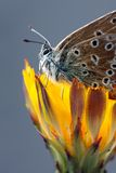 agestis aricia motyla plebeius Fotografia Royalty Free