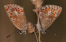 Agestis Browns Argus-Aricia Stockbilder