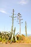 Ageve rośliny Kaktusowy kwitnienie Zdjęcia Royalty Free