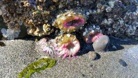 Aggregating anemon Fotografia Royalty Free