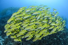Aggregation of Yellow Fish in Blue Waters of Maldives. School of yellow fish swimming in clear ocean waters of maldives Royalty Free Stock Images