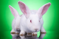 Aggresive look of two bunnies Royalty Free Stock Image