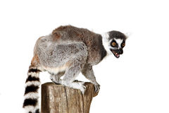 Aggression. Studio portrait of a Ringtailed Lemur with an aggressive expression on his face Stock Image