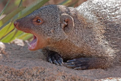 Aggression mongoose Royalty Free Stock Photography