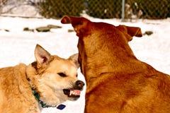 Aggressione del cane Fotografie Stock Libere da Diritti