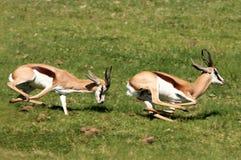 Aggressione del maschio dello Springbuck Fotografia Stock Libera da Diritti