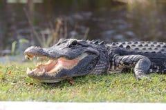 Aggressiv alligator Arkivbild